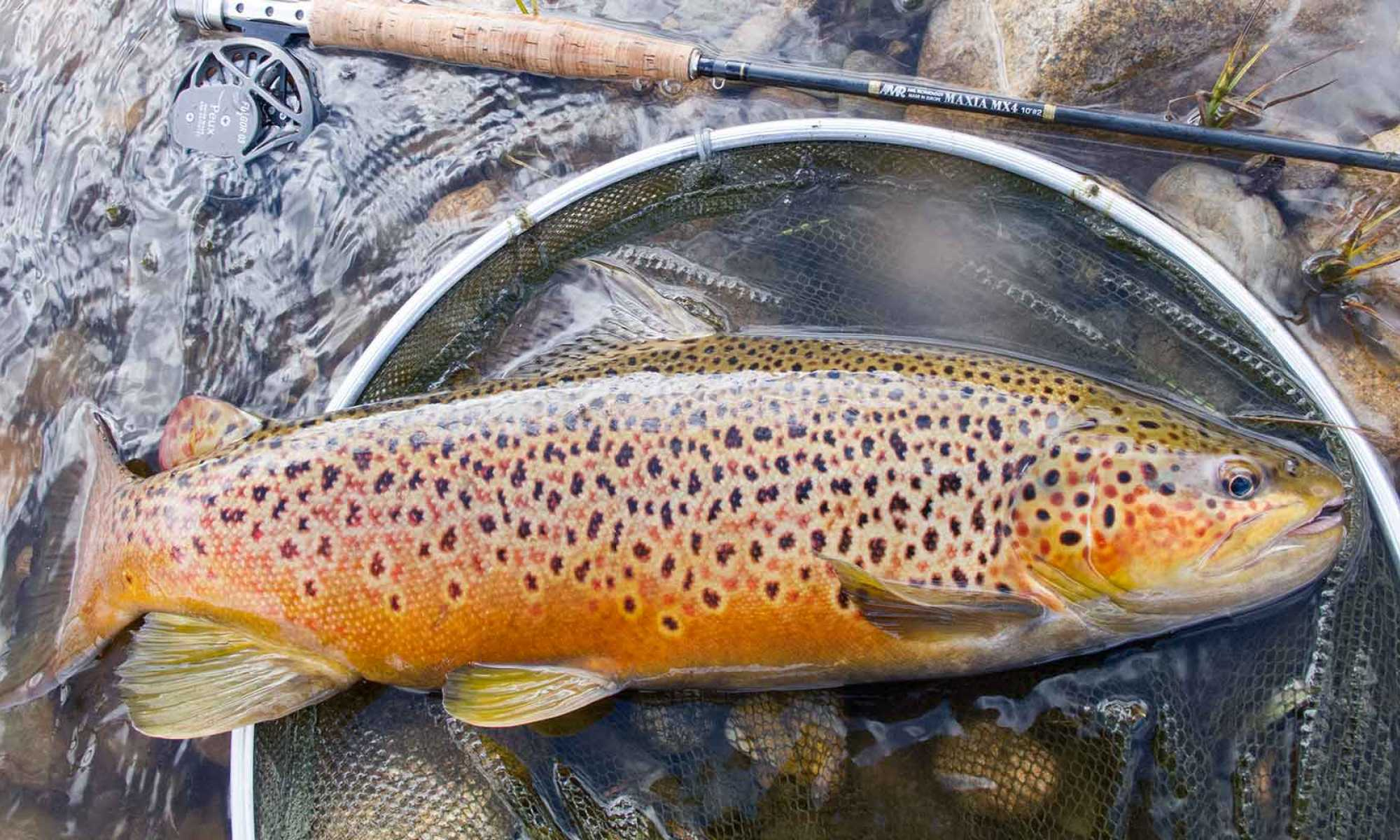 There is no better place on earth to catch wild brown trout